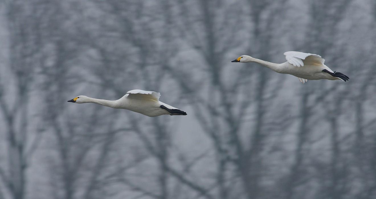 Bewicks' Swans